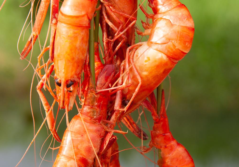 Shrimps in Angola